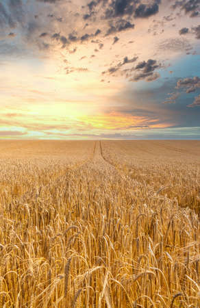 Sunset over a field of golden wheat ready to harvest
