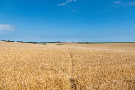 Ripening Wheatfield with a footpath running through the middle.