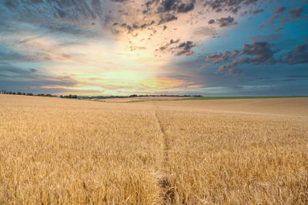 Sunset over a Wheat field with a footpath running through the middle.