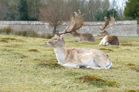 Small herd of male Fallow Deer lying on the grass.