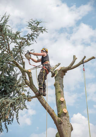 Tree Surgeon or Arborist on top of a tree cutting off branches. Stok Fotoğraf