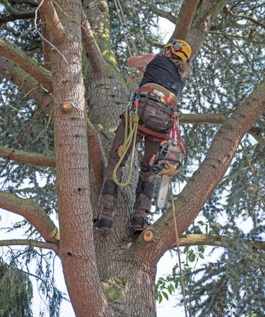 Tree Surgeon or Arborist climbing a tree using his safety ropes.