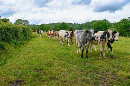 Herd of Cows walking along a hedgerow in a field. Stock fotó