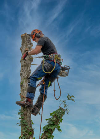 Arborist or Tree Surgeon using a safety rop at the top of a tree.