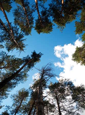 Drzewa towering do błękitnego nieba
