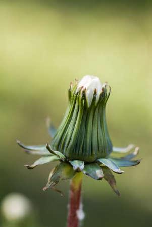 underbrush: dandelion bloom detail