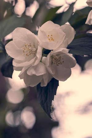 philadelphus coronarius: mock blossoms close up