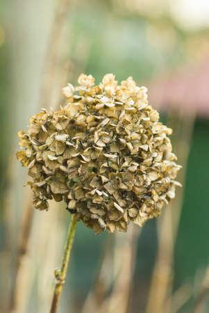 hydrangea hortensis dried blossom close up, autum photo