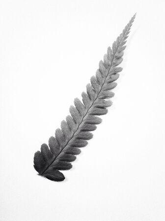underbrush: Fern leaf on a white