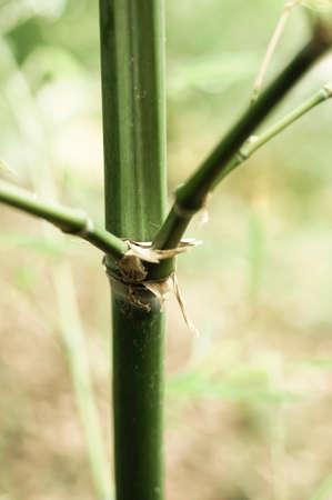 underbrush: bambusa arundinacea, bamboo plant close up