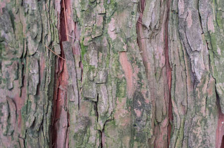 thuja occidentalis: thuja occidentalis bark close up