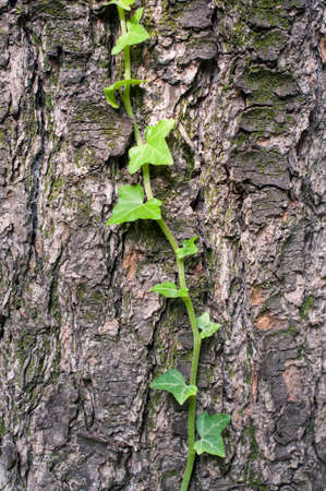 underbrush: ivy on a conifer bark, detail