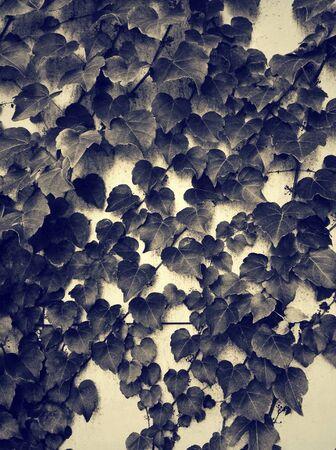 American ivy
