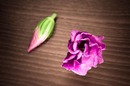 pink hibiscus cannabinus blossom and sprout , close up, wood surface photo