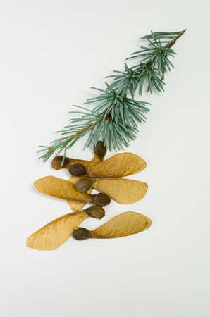 fir twig: fir twig and maple seeds on a paper surface
