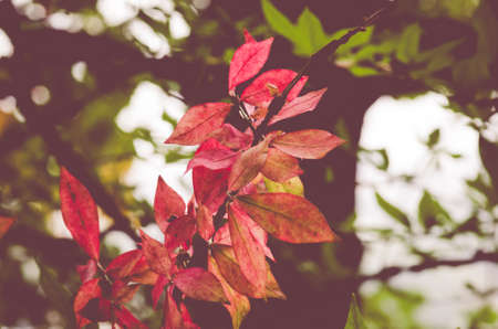 burning bush: autumn gardens backgrounds, euonymus alatus red colored leaves