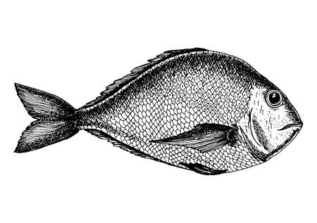 illustration of a brem. Drawn in ink hand drawing. Engraved style illustration Illustration