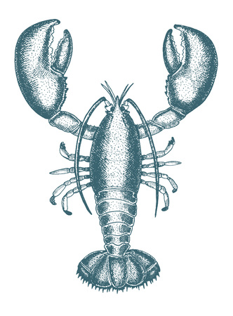 illustration of a lobster. Drawn in ink hand drawing. Engraved style illustration