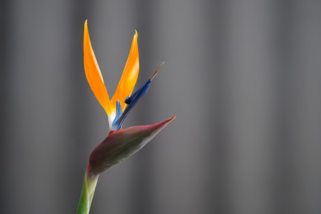 Bird Of Paradise Strelitzia Flower Close Up View With Yellow And Blue Details