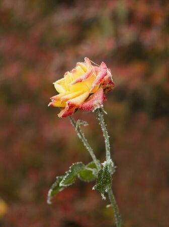 Gefrorene orange Rose mit schönen bunten bokeh Hintergrund