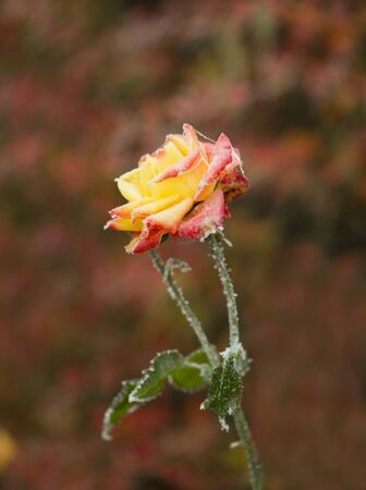 Frozen orange rose with beautiful colorful bokeh background Stock Photo