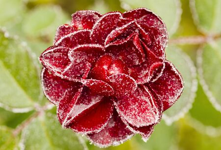 Frozen red rose with green leaves as background. Rose petals in small ice crystals surrounding the flower. Tripod used.