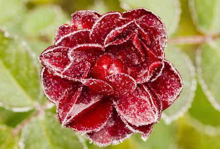 Gefrorene rote Rose mit grünen Blättern als Hintergrund. Rosenblätter in kleine Eiskristalle rund um die Blume. Stativ verwendet.