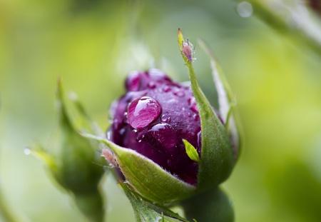 Schöne violette Rose mit Wassertropfen auf perfekte Rose Knospe Makroaufnahme Lizenzfreie Bilder