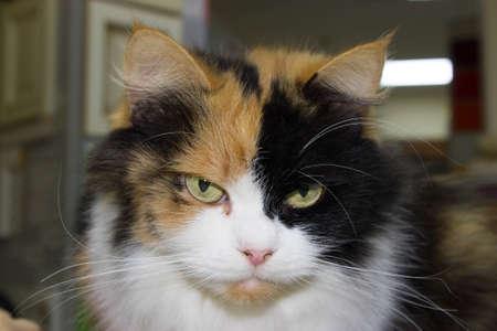 大きな3色怒っているシャギー猫クローズアップ 写真素材