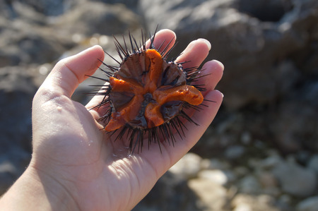 Adriatic  sea urchin inside