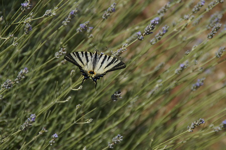 Swallowtail on the lavander