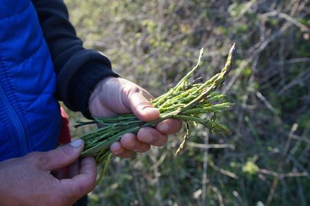 Wild asparagus in hand