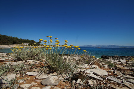 Immortelle on the Proizd islet, Dalmatia - Croatia