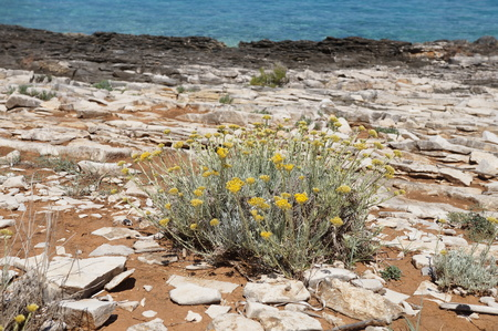 Immortelle on the rock near the sea Stock Photo
