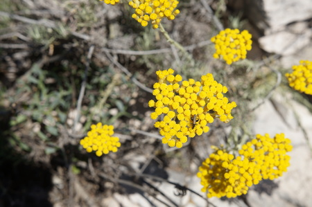 Flowers of Immortelle Stock Photo