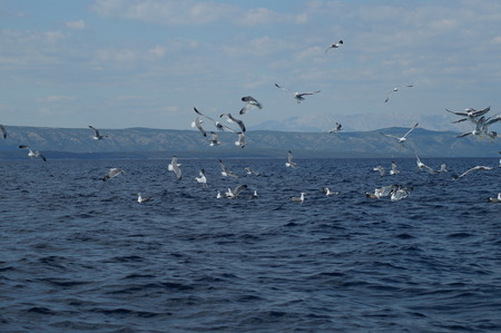 Seagulls in the Adriatic Sea