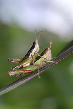 acrididae: a mating grasshopper