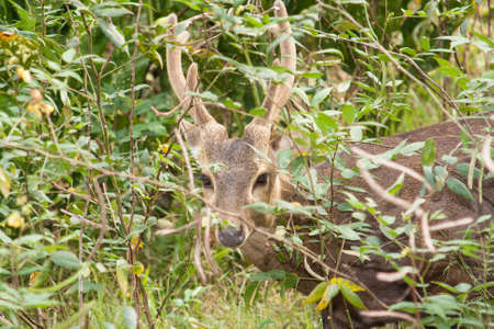 looking into camera: Cervo in cerca fotocamera Archivio Fotografico