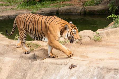 panthera tigris sumatrae: Tiger walking trough a pool
