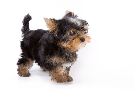 Yorkshire Terrier (Yorkie) puppy standing on a white background.