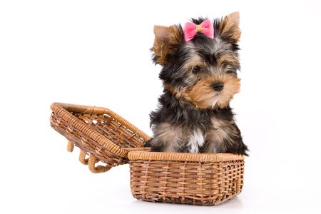 Yorkshire Terrier (York) puppy sitting in box on a white background. Stock Photo - 2262892