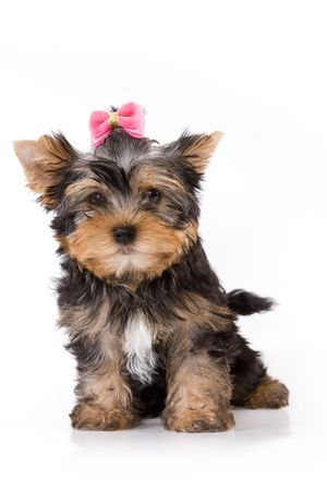 Yorkshire Terrier (York) puppy sitting on a white background. photo