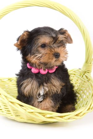 Yorkshire Terrier (Yorkie) puppy sitting in basket on a white background. Stock Photo - 2262896