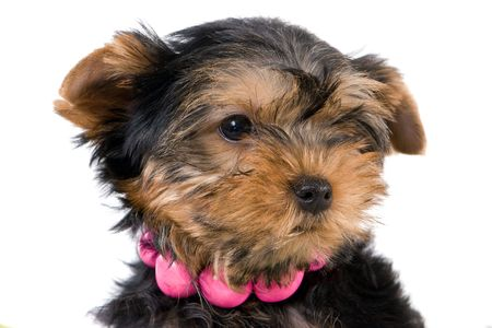 Yorkshire Terrier (Yorkie) puppy on a white background. Stock Photo - 2262898