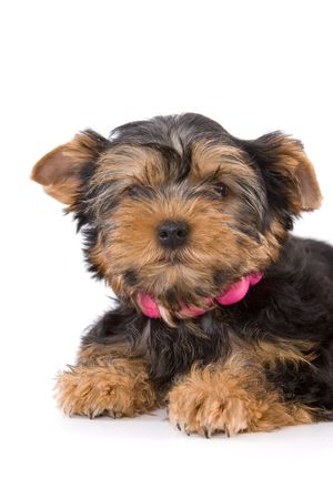 Yorkshire Terrier (Yorkie) puppy lays on a white background. Stock Photo - 2262894