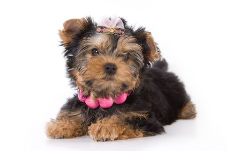 Yorkshire Terrier (Yorkie) puppy laying on a white background. Stock Photo - 2262888