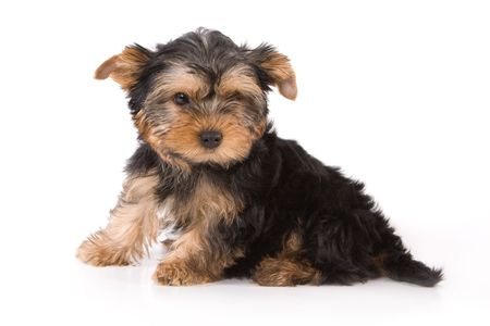 Yorkshire Terrier (Yorkie) puppy sitting on a white background. Stock Photo - 2262883