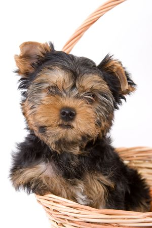 Yorkshire Terrier (Yorkie) puppy sitting in basket Stock Photo - 2262897