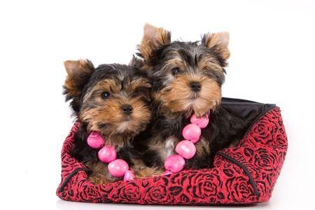 Yorkshire Terrier (Yorkie) puppy sitting on a white background. Stock Photo - 2262899
