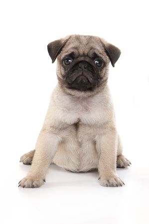 pug puppy: Pug puppy sitting on a white background in a studio. Stock Photo